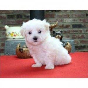Cheap Maltese Puppies For Sale Cute Puppies Maltese Puppy Teacup Puppies Maltese Puppies For Sale