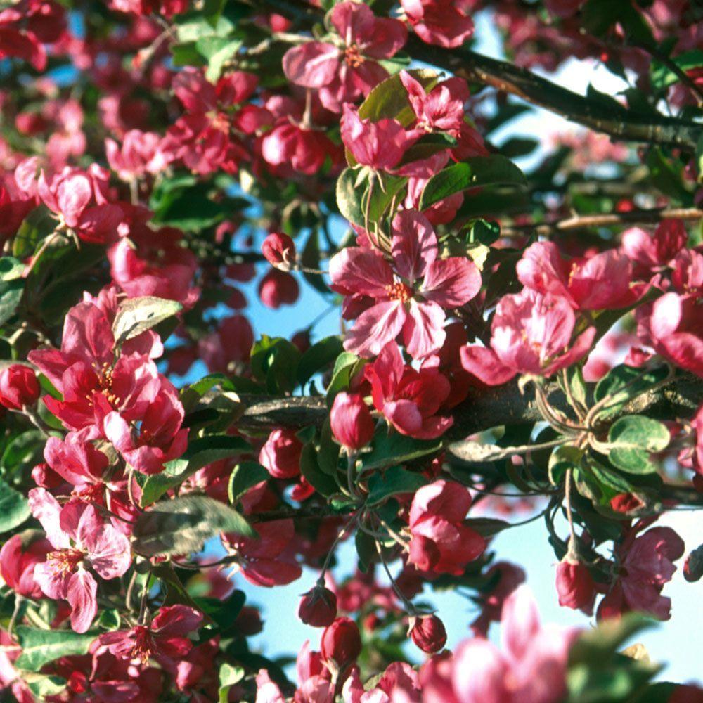 Malus Red Barron Pink Flowering Trees Deciduous Trees Pink Flowers