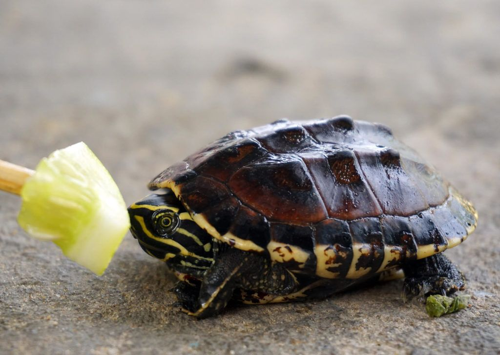 Know How To Take Care Of A Baby Turtle  Pets Nurturing Know How To Take Care Of A Baby Turtle  Pets Nurturing Baby Care how to take care of a baby turtle