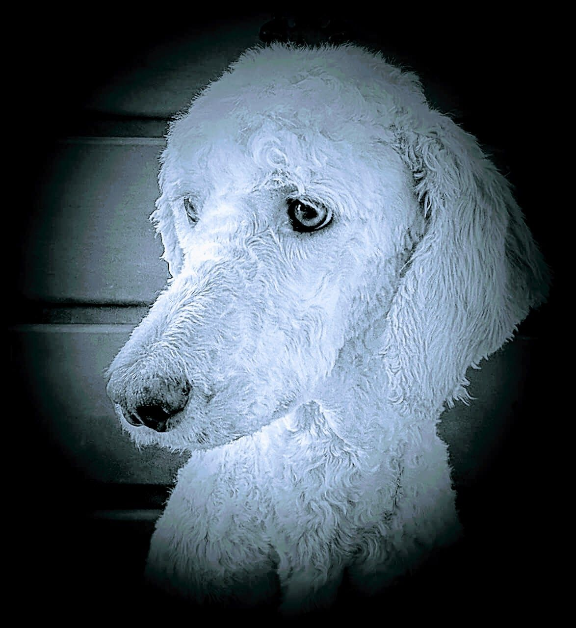 ❤ Babe Woof ❤ | {GROUP} Poodles - Best Dogs Ever! | Pinterest ...