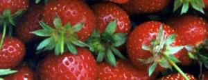 Growing Strawberries, garden.usu.edu, Utah State University Extension