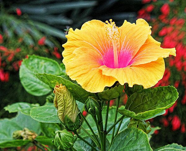 Hibiscus By Judy Vincent Faa Artists Hibiscus Planting Flowers