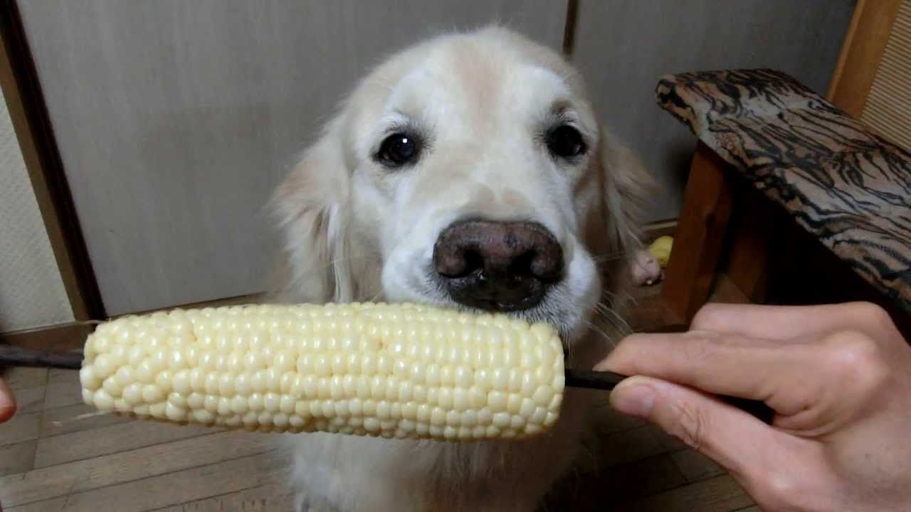 Coco The Golden Retriever Loves To Eat Fruits And Vegetables