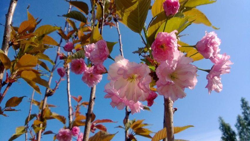 Kirsikkalajeja  Prunus serrulata P. 'kanzan'