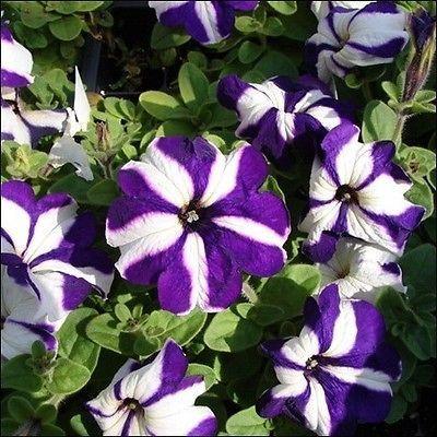 Petunia Ultra Star Mix Flower Seeds Petunia Multiflora F2 100