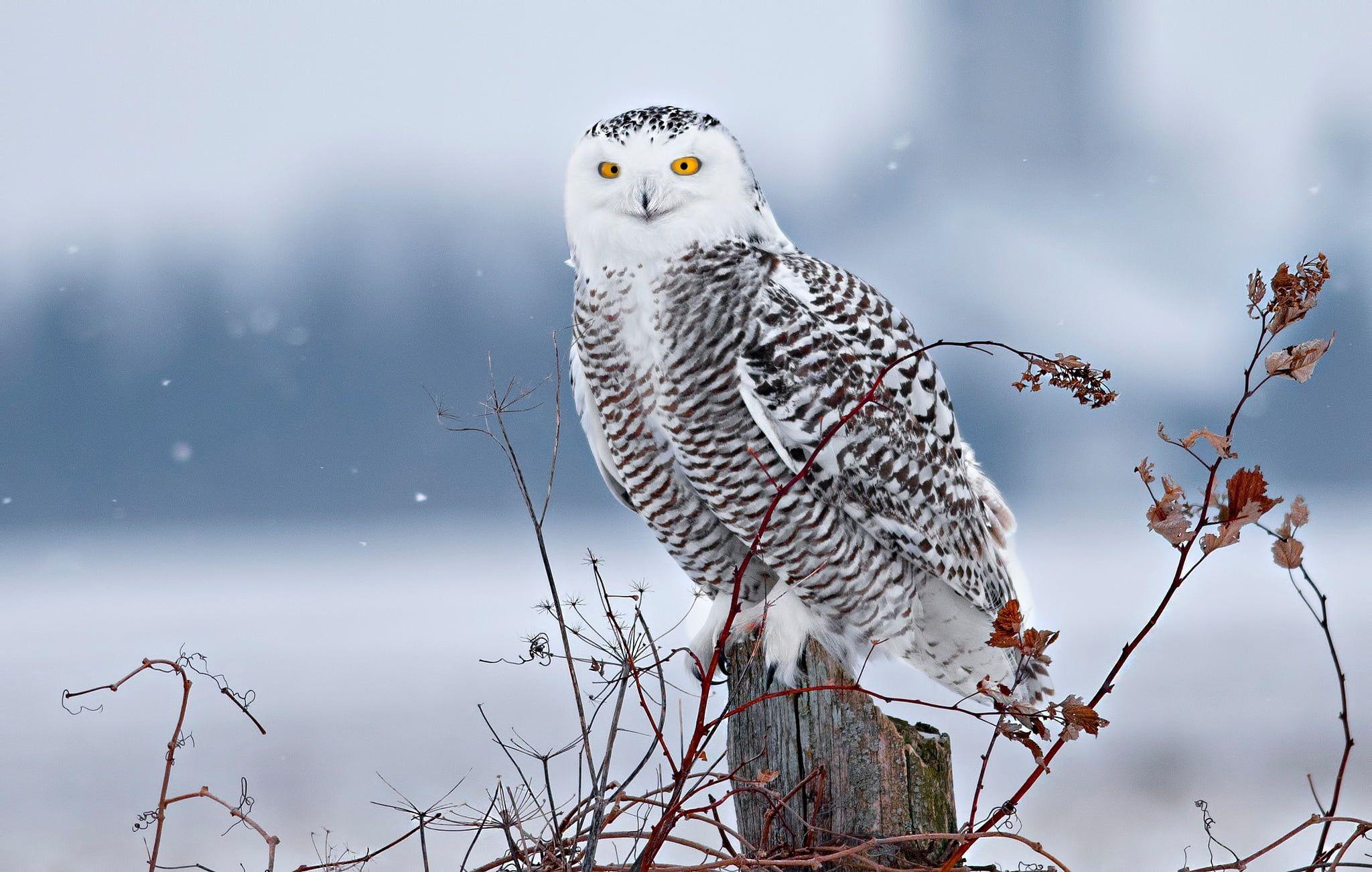 Winter Snow Branches Bird Stump Snowy Owl 1080p Wallpaper Hdwallpaper Desktop Snowy Owl Owl Wallpaper Bird