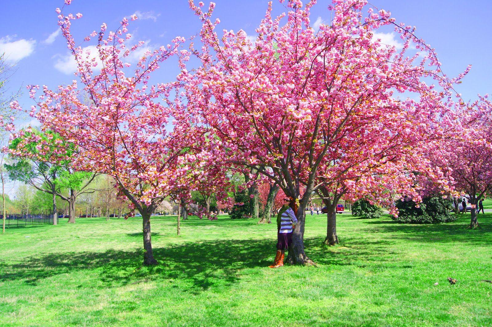 Pin By Shelley Boland On V Day Hd Cherry Blossom Festival Blossom Blossom Trees