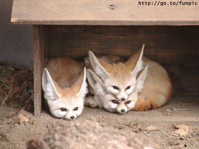 inari fox. I want one!!