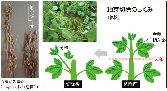 大豆 の 栽培