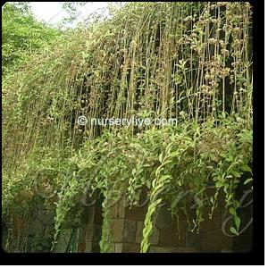 Curtain Creeper Vernonia Creeper Parda Bel Plant 7