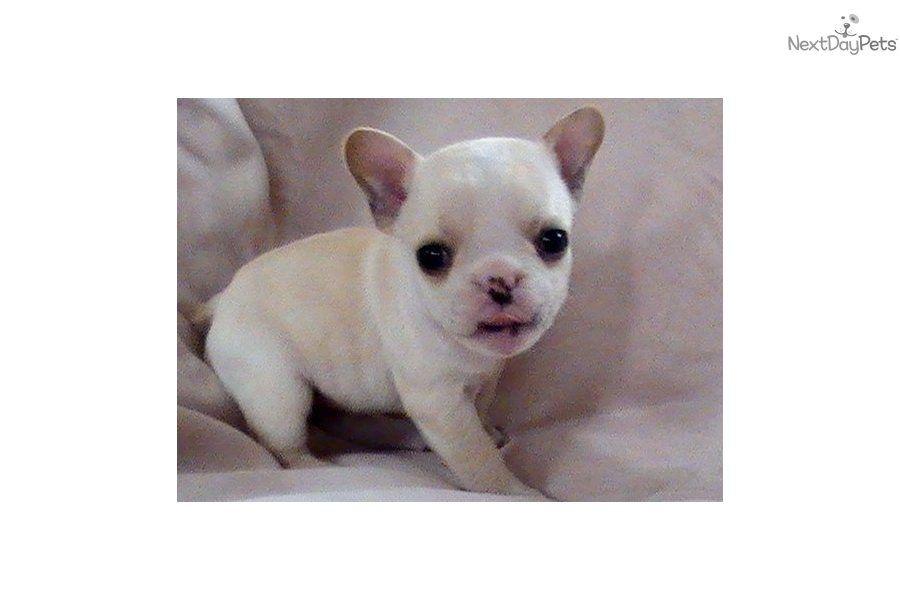 French Bulldog Puppy For Sale Tiny Micro Mini French Bulldog Akc
