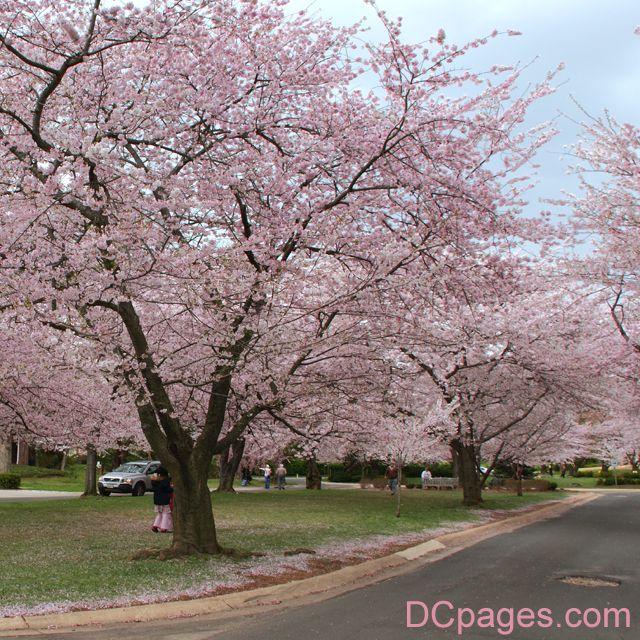 Kenwood Cherry Blosoms Yoshino Cherry Tree Cherry Tree Tattoos Yoshino Cherry
