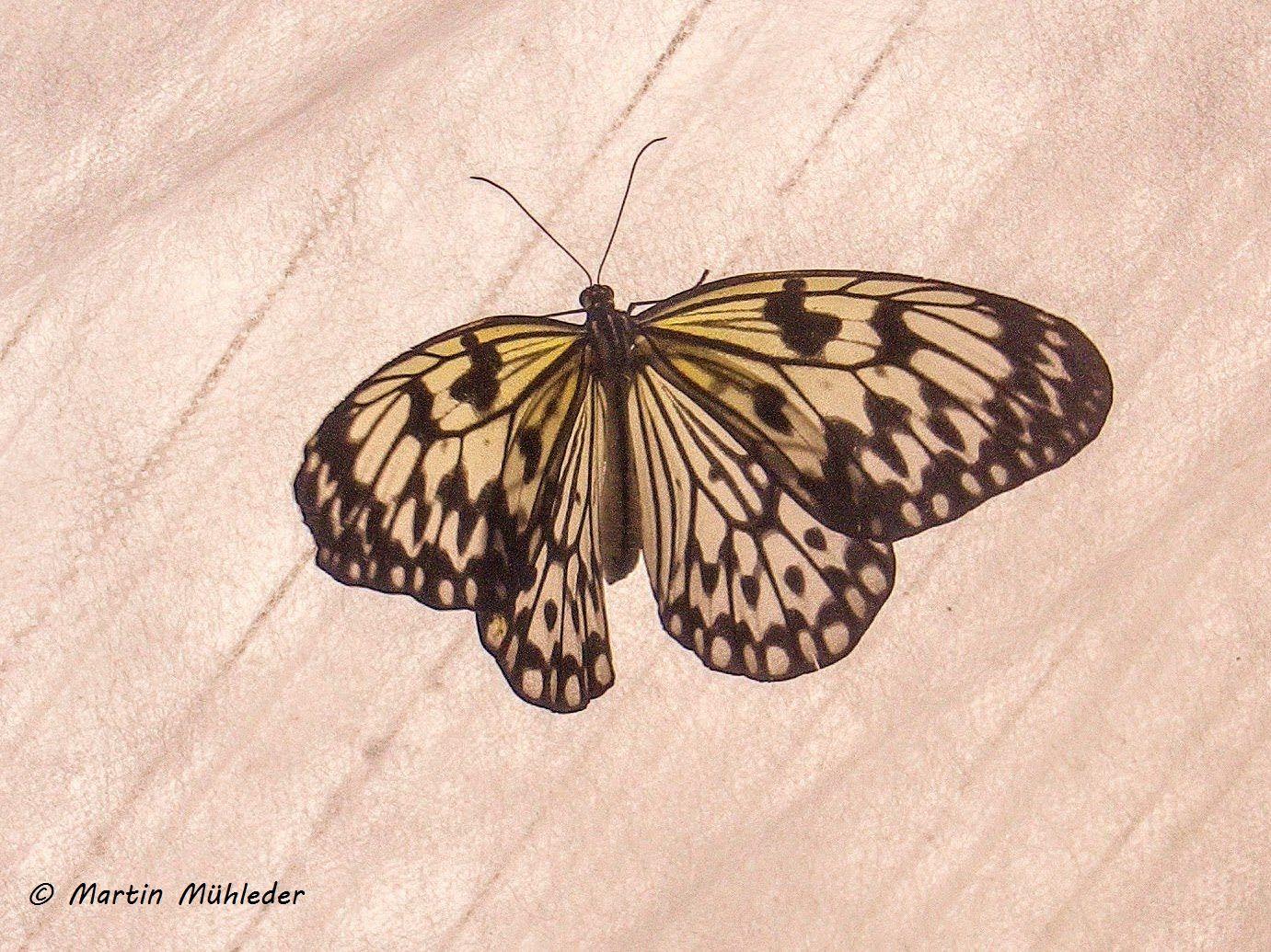 Weisse Baumnymphe Weisser Schmetterling Nymphe Zeichnung