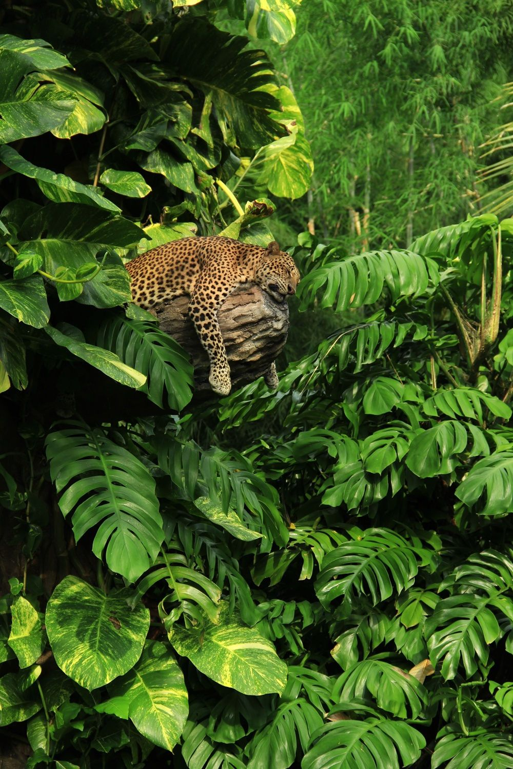 A Sleeping Javanese Leopard In The Jungle Surroundings With