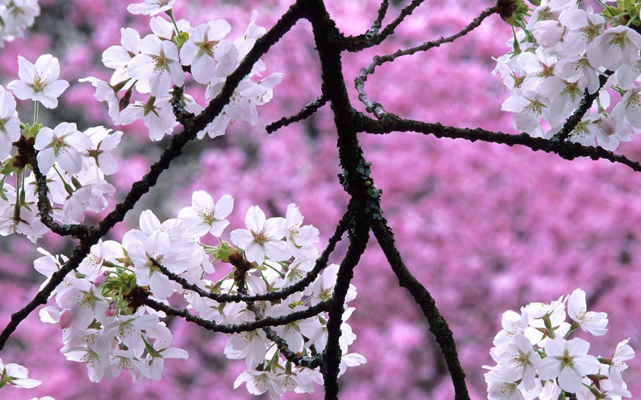Witness The Cherry Blossoms Bloom In Pastel Pink And White Puffs Or Any Of The Other Variety Of Fresh Bouquets Which You Can O Bunga Sakura Musim Semi Bunga