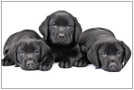 Three Cute Black Labrador Retriever Puppies