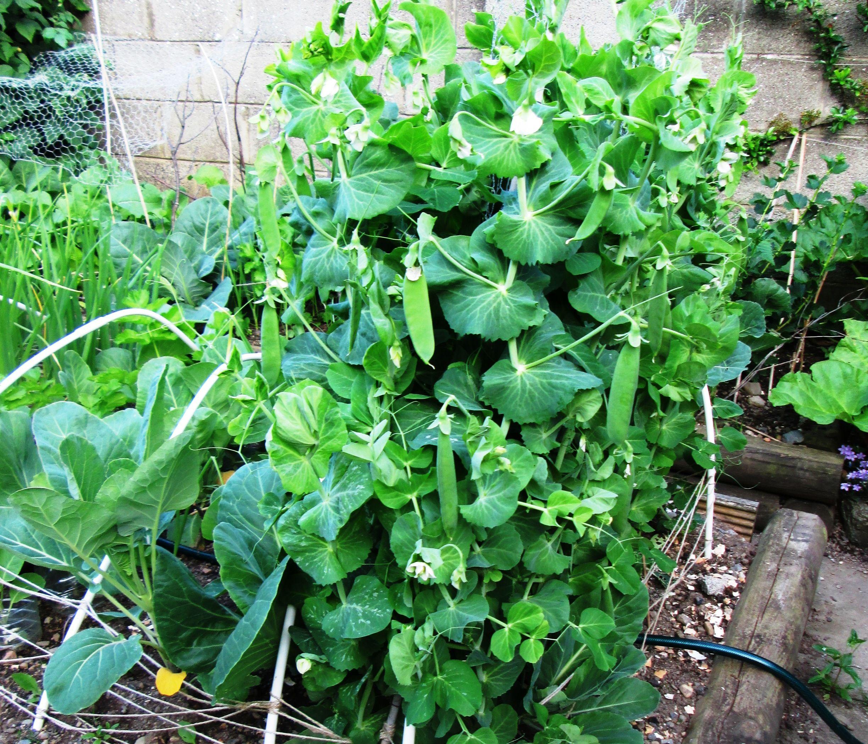 How To Grow Peas Vertically In The Garden