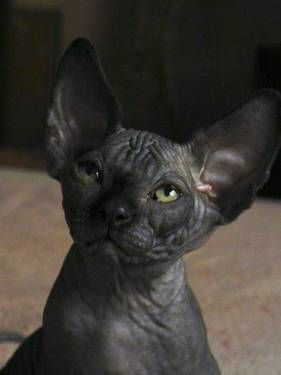 Sphynx Kitten Looking For God Home Solid Black Show Quality