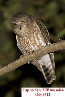 Những điều cần biết về giấc mơ chim Ninox scutulata burmanica
