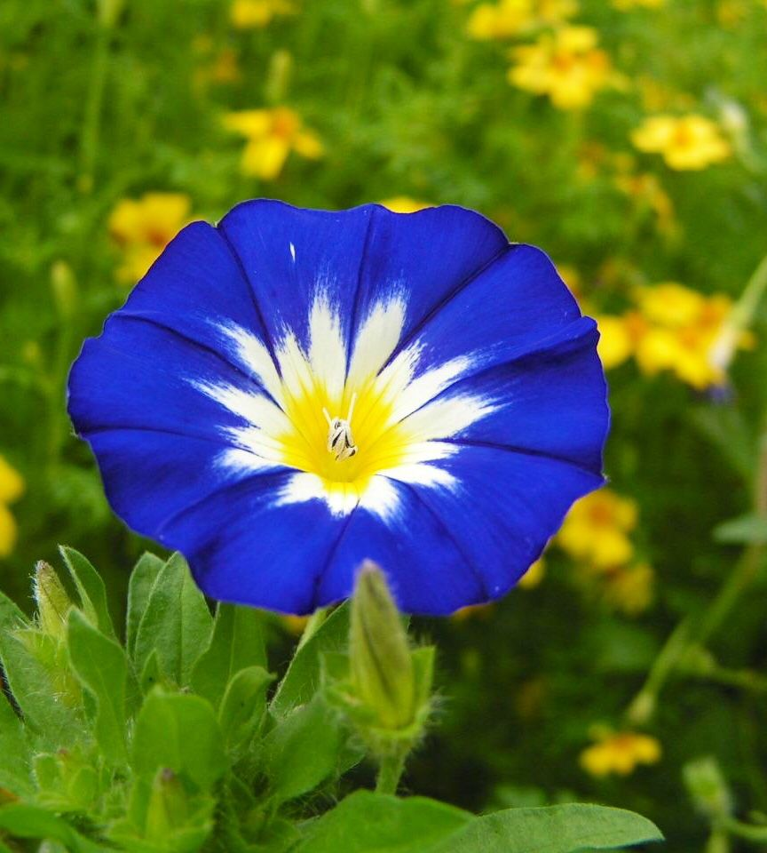 Blue flower with white yellow center types of blue