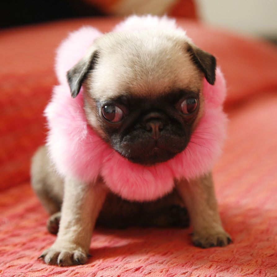 Sweet Baby Girl Pug Click to shop harnesses, collars and more for pugs.