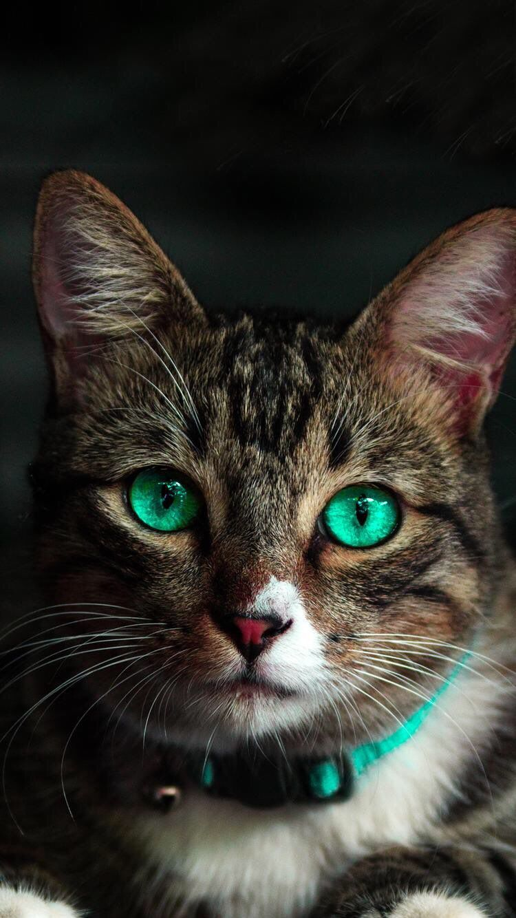Iphone And Android Wallpapers Green Eyed Cat Wallpaper For Iphone
