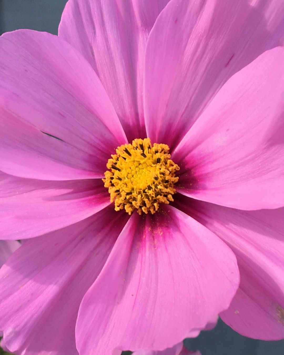 Cosmos Perfect Shape Www Greenscapeinspiration Co Uk Garden Gardening Gardendesign Gardenmaintenance Wildlife Plant Nature Shrub Flower Plants Garden