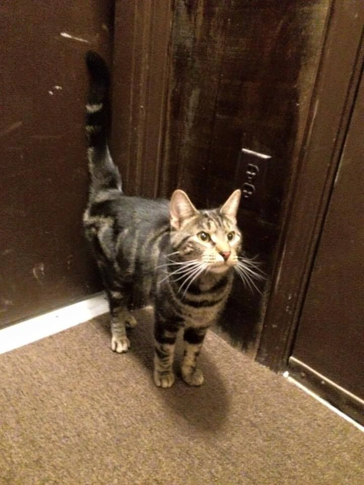 Mary Phalstaf Ct Lost Pets Https Www Facebook Com Ct Lost Pets Posts 779608978827646 Found Cat Black And Grey Tabby Very Fri Found Cat Losing A Pet Cats