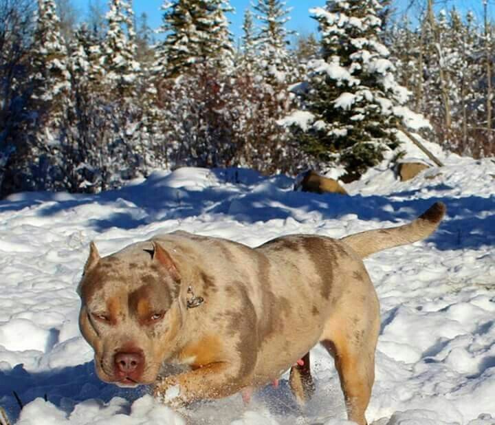 Tri Color Merle American Bully Pitbull Puppies Cute Animals
