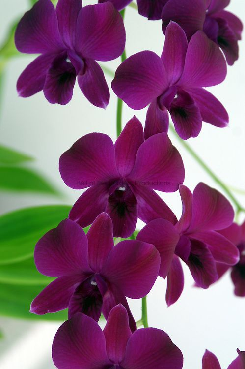 Dark Violet Dendrobium Bell Of The Borders Productions Orchid Flower Dark Purple Flowers Dendrobium Orchids
