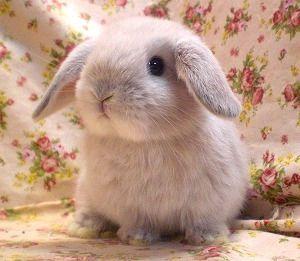 ホーランドロップの魅力 Naver まとめ Cute Baby Animals Cute Baby Bunnies Baby Animals Funny