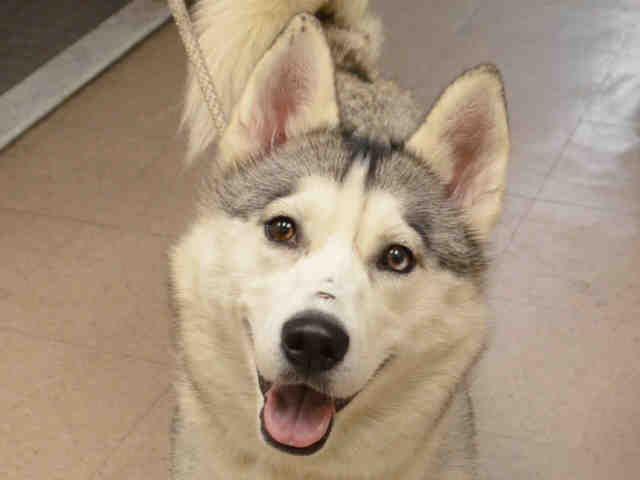 Loba A1036111 Siberian Husky Dog Adoption Husky