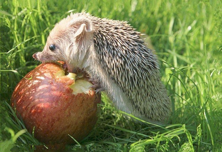 Hedgehog Igel Im Garten Futterhaus Igel