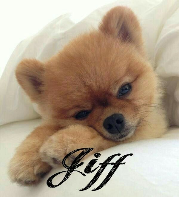 Pin By Elizabeth James On Jiff The Dog Very Cute Dogs Teddy Bear Dog