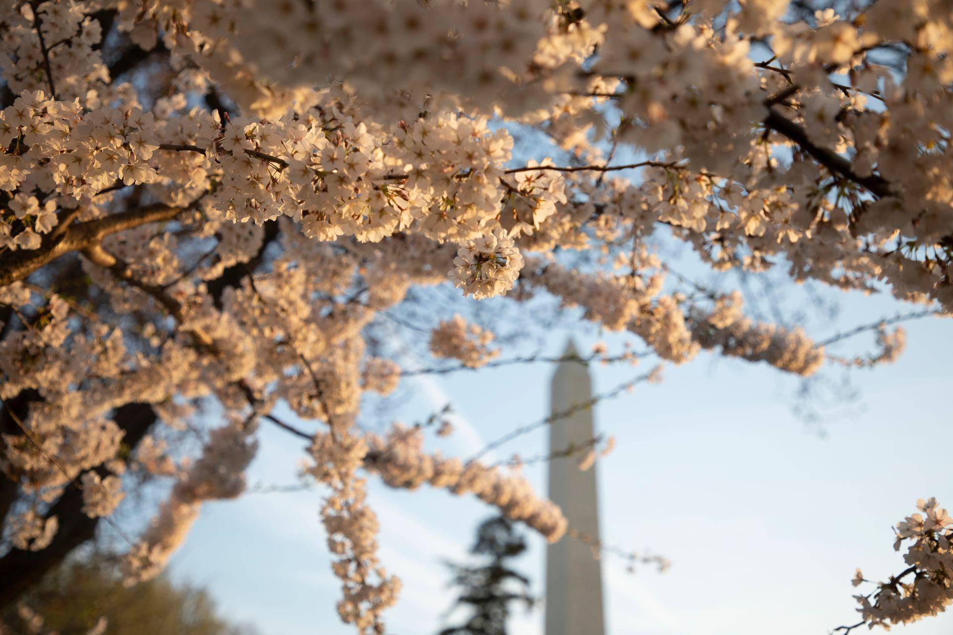 Cherry Blossoms Are In Full Bloom In Washington D C Cherry Blossom Festival Flowering Cherry Tree Cherry Blossom