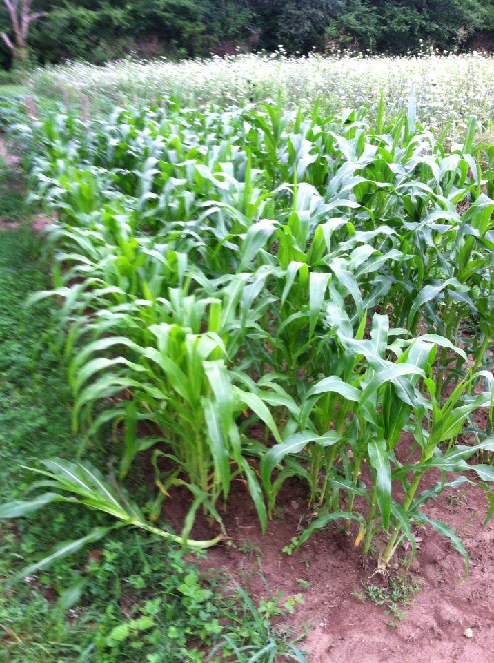 Corn holieo