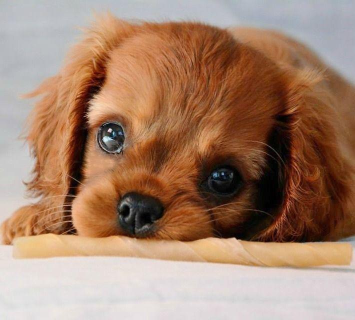 Beautiful Charles Spaniel Brown Adorable Dog - d8b572f4c03afa8d5d29c5fbeb5e598a  Collection_37171  .jpg