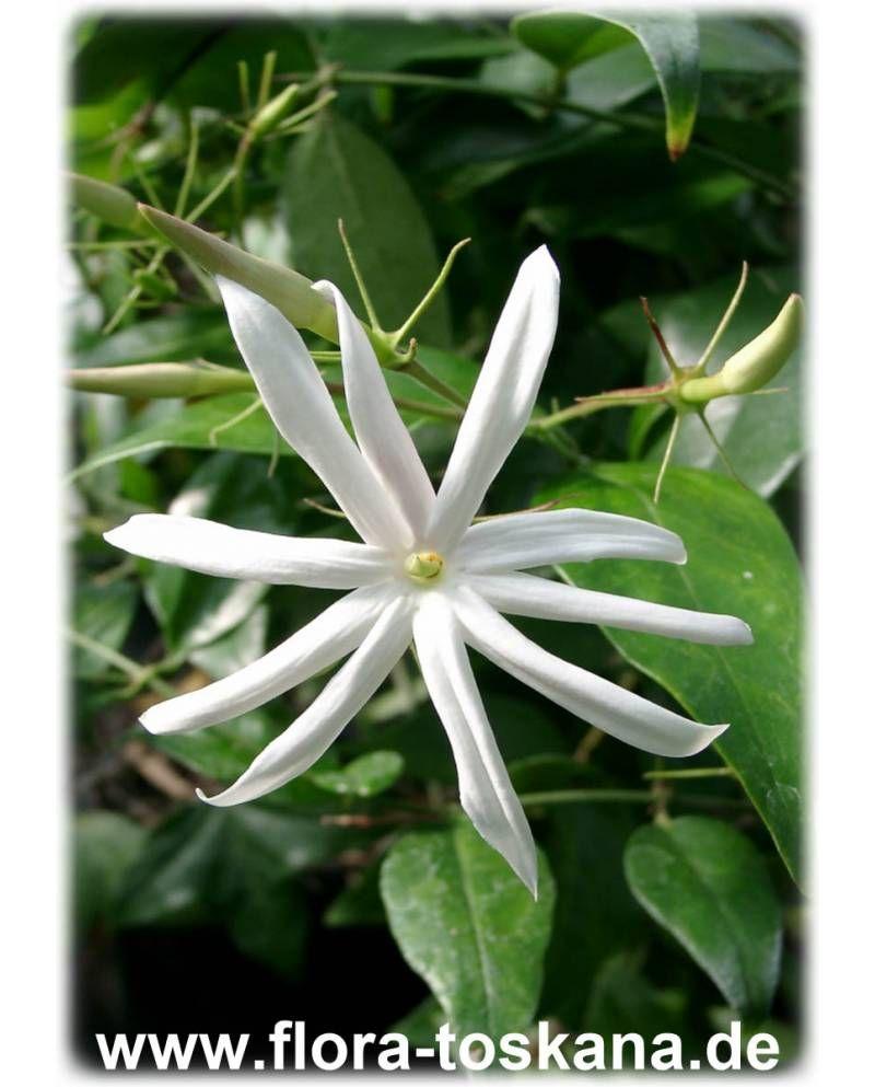 Jasminum Nitidum Engelsflugel Jasmin Flora Toskana Pflanzen Pflanzenblatter Flora
