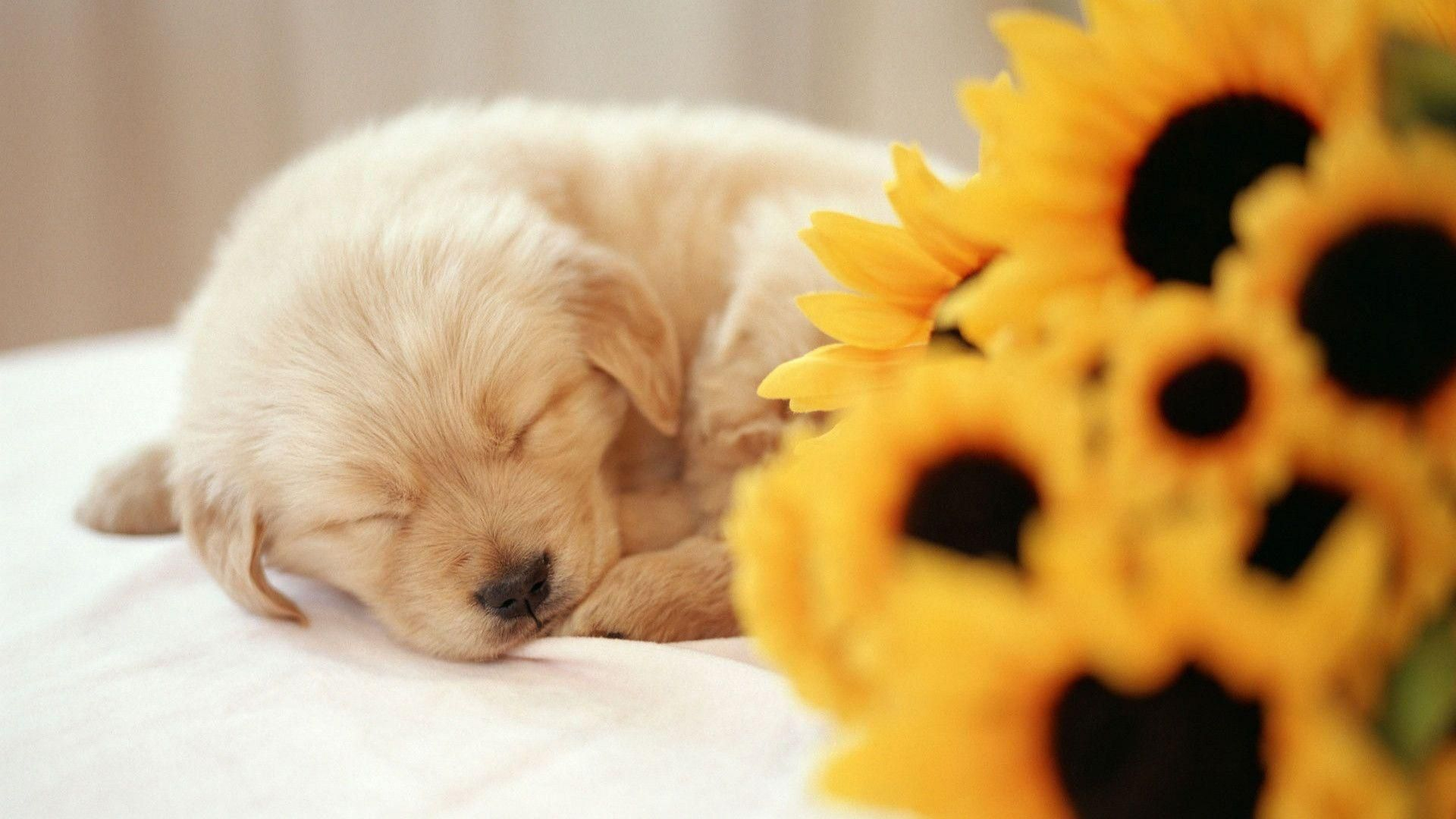 Puppies Free Hd Wallpapers And Backgrounds Download 54 Puppies Free Hd Wallpapers And Backgrounds Download Puppy Wallpaper Sleeping Puppies Puppy Backgrounds