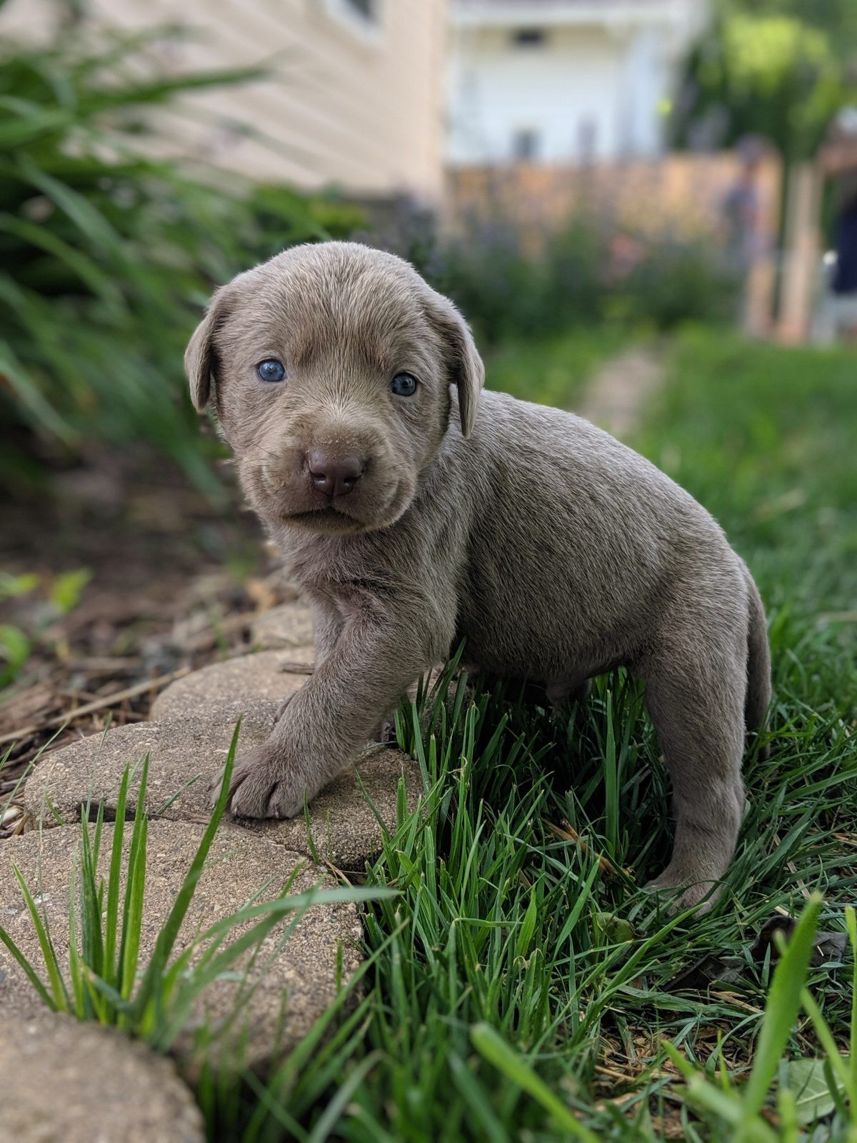 AKC male Silver Lab puppy with green collar in Dallas