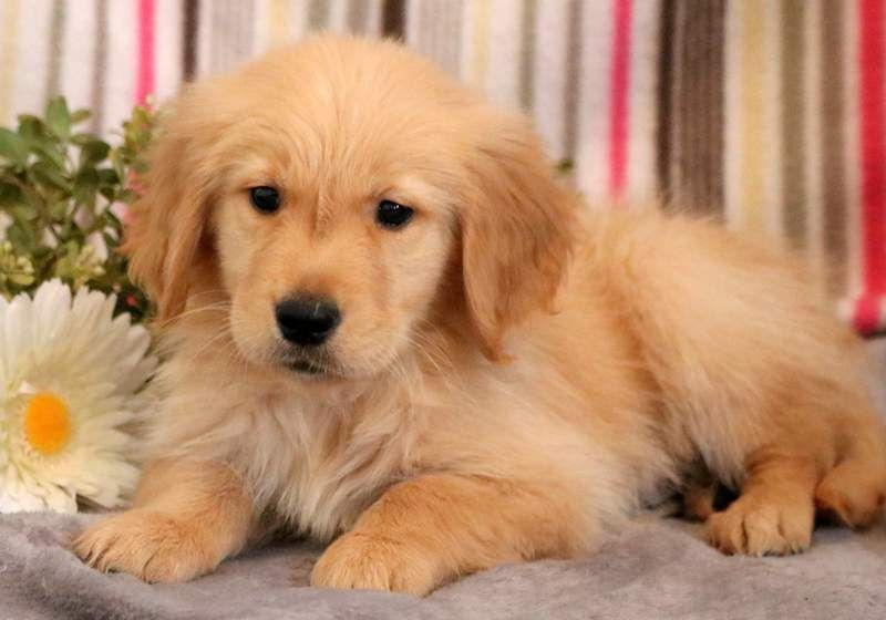 Golden Retriever Puppy For Sale In Mount Joy Pa Adn 71284 On