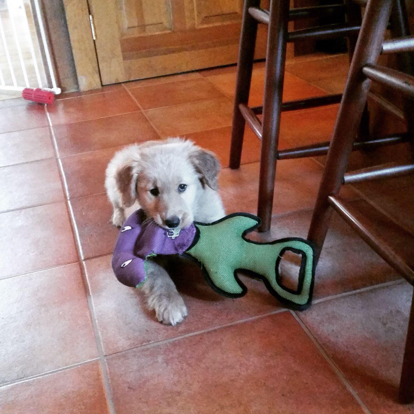 Daisey Mae 9 Weeks Old Akc Golden Wizard Kennel Golden Retriever