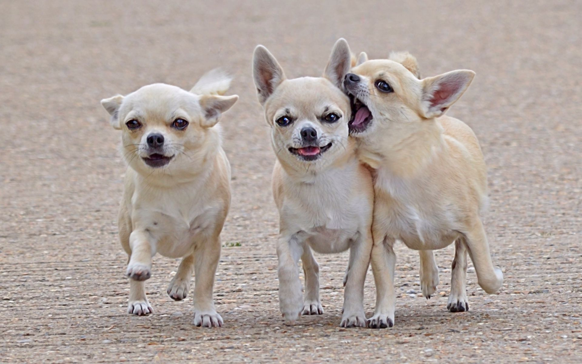 Chihuahua Hd Wallpapers Animals Cute Dogs Dogs And Puppies Chihuahua