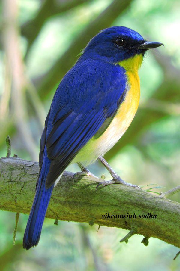 Birds Tickell's blue flycatcher