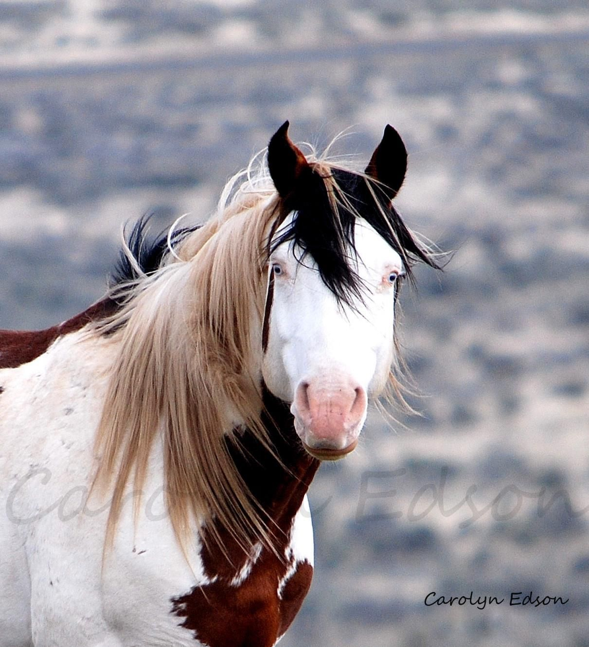 Wild Horses Out West shaman cheval chevaux mustang sauvage ...