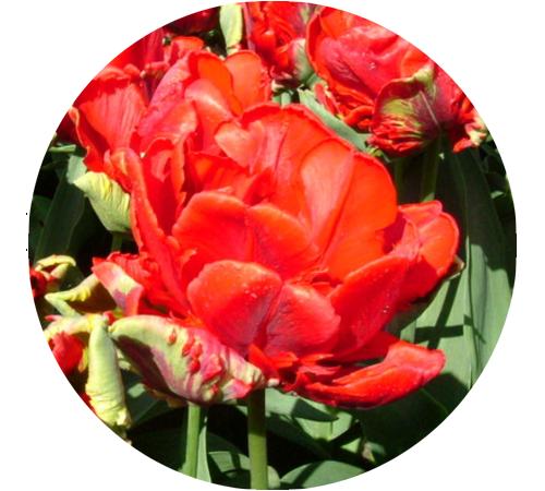 39724 - Тюльпаны Рококо 11/12 :150 - Тюльпан - Региональный центр ... | 450x500
