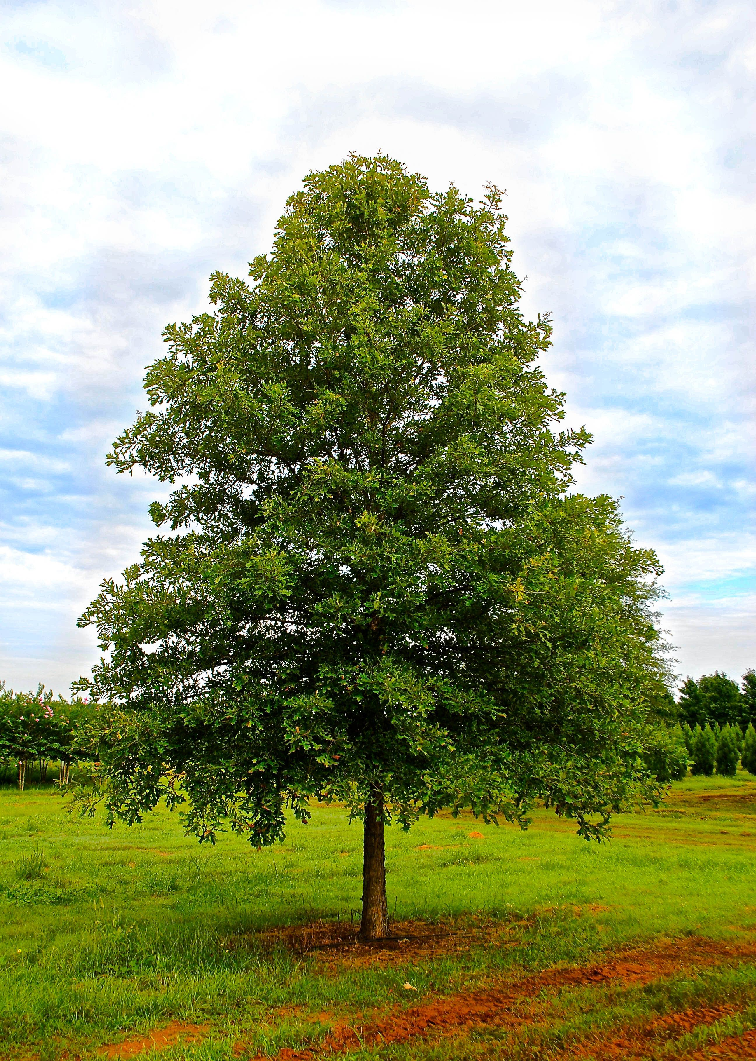 Overcup Oak | Shade Trees | Pinterest | Arbors and Plants