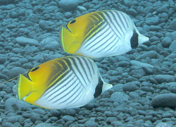 The Threadfin Butterflyfish Chaetodon Auriga Is A Species Of Butterflyfish Family Chaetodontidae Butterfly Fish Saltwater Aquarium Fish Patterns In Nature