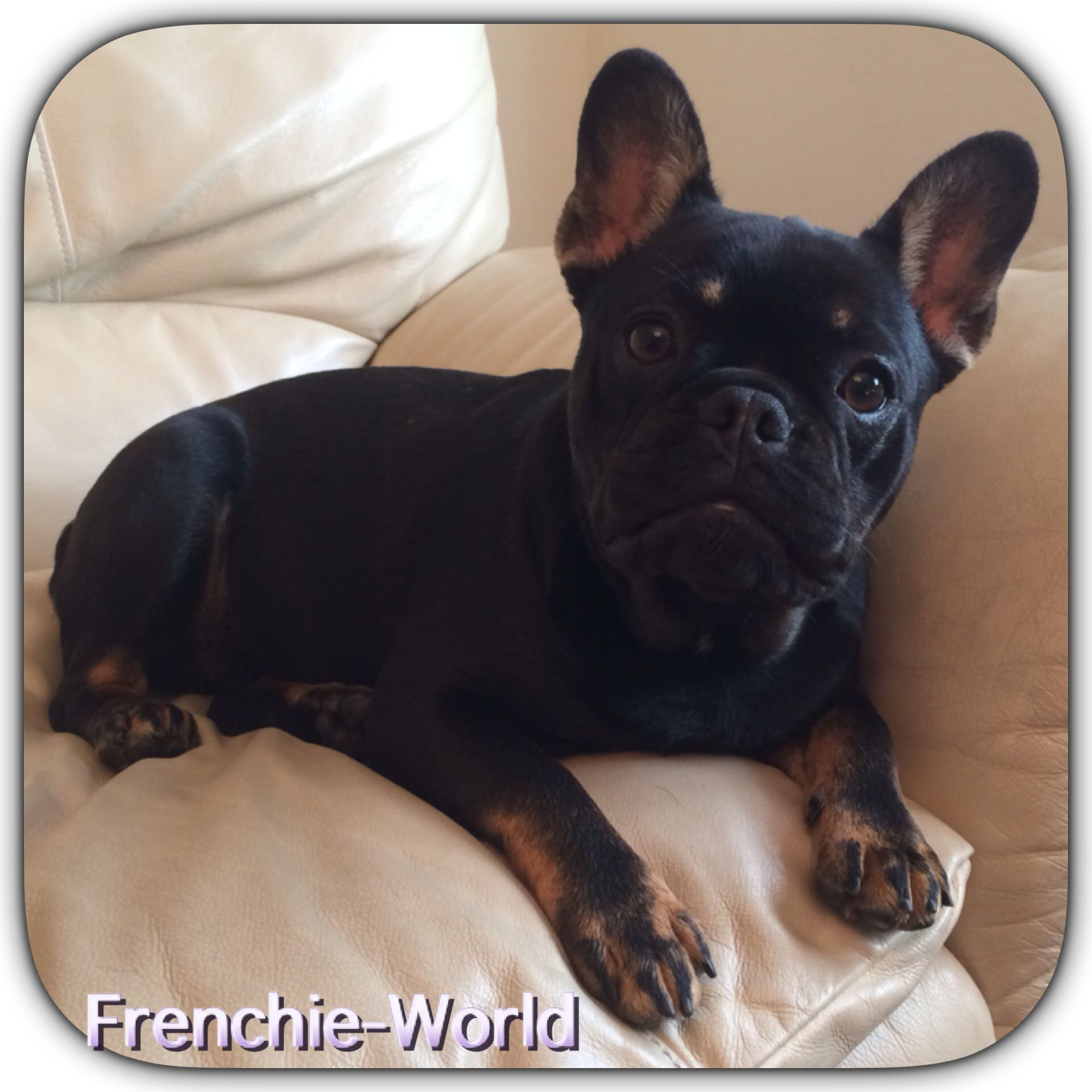 Ghim Của Frenchie World Tren Frenchie World Past Puppies