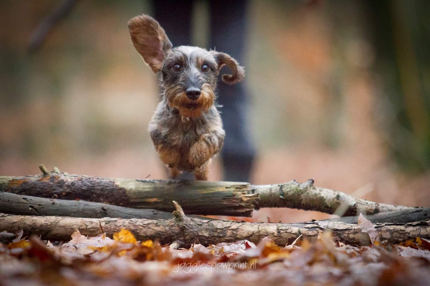 Cute Dachshunds Image By Dachshund Central In 2020 Animals
